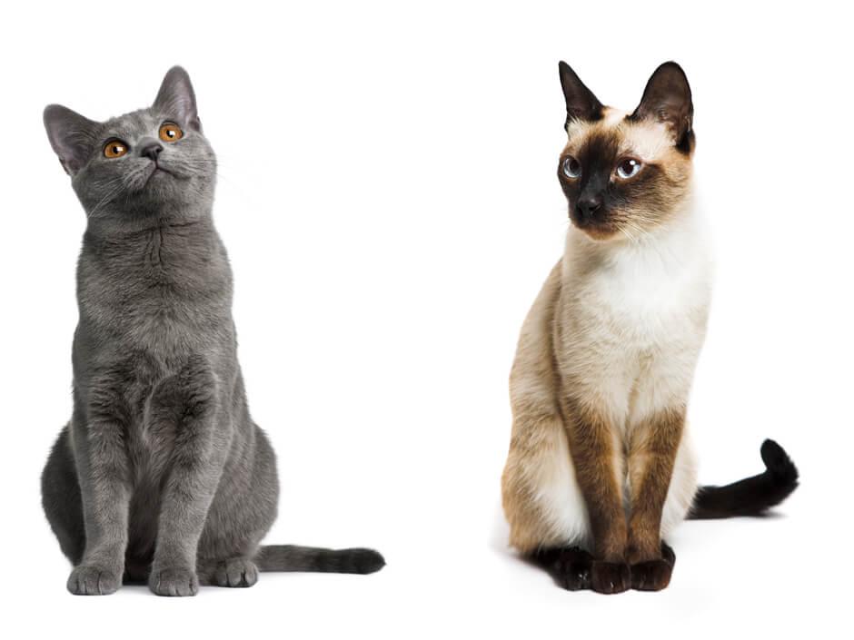 Породы кошек с фото