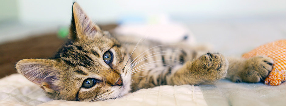 Blue eyed kitten lying down
