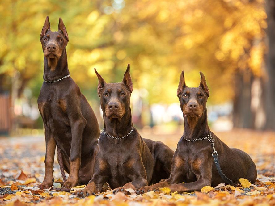 Самые опасные собаки в мире: ТОП 25 - Purina.ru